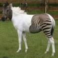 Reabrimos los electrones tras la estresante época de exámenes con una curiosa noticia sobre las maravillas de la genética. En un parque-safari en Alemania se han cruzado un caballo y...
