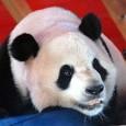 Los pandas que el gobierno chino regaló a los Reyes de España en su última visita al país asiático ya han llegado hoy, en avión y tras un largo y...
