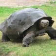 """Pues yo hasta ahora pensaba que el animal vivo más viejo del mundo era una tortuga (Harriet) que conoció en persona a Charles Darwin. Y digo """"era"""" no porque Harriet..."""