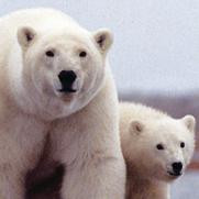 El primer oso polar