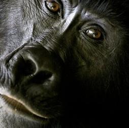 ¿Comen carne los gorilas?