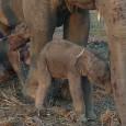 Han nacido, en Tailandia, los primeros elefantes gemelos que se conocen en el mundo. Por lo visto es un fenómeno muy muy raro. La noticia ha sido un bombazo ya...